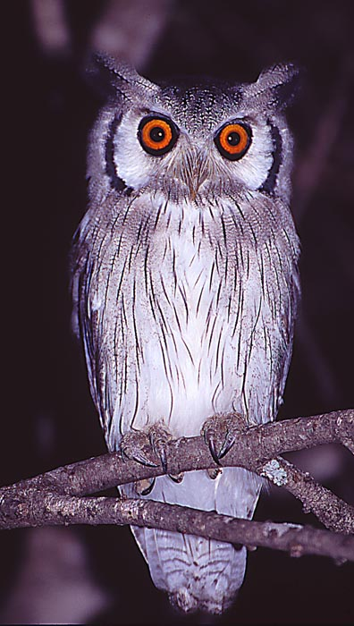 Uggla (Northern White-faced scops-owl)